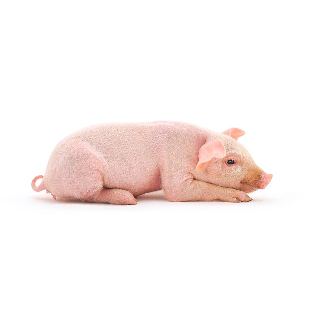 Vacuna tu cerdo enanito